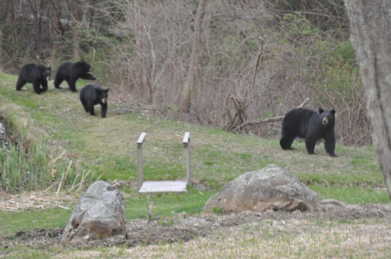 Mama Bear 3 Cubs West Simsbury, CT