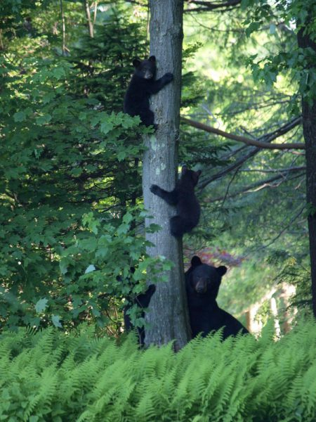 Wildlife in West Simsbury - Mama Bear and 3 cubs watching me garden!