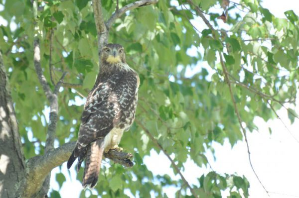 Hawk in West Simsbury