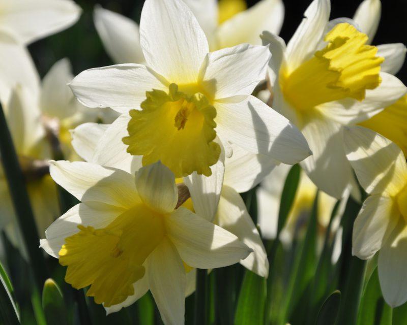 Sunlit Daffodils