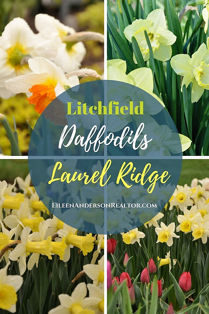 things-to-do-laurel-ridge-daffodils-litchfield