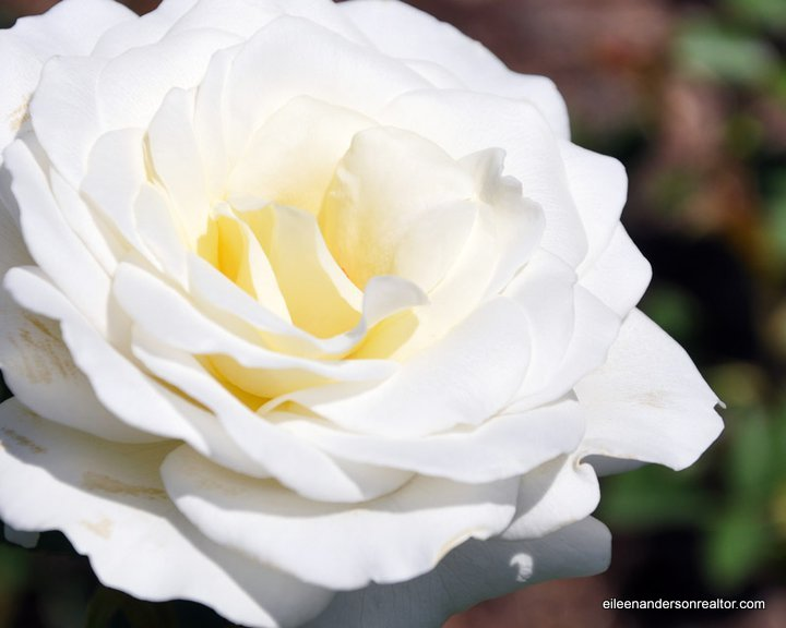 Maintenance roses - garden tips