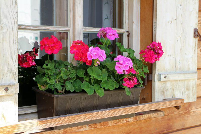 Geraniums july gardening checklist