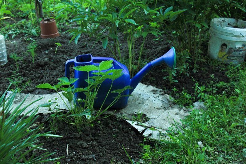 watering-strawberries-july-gardening-checklist