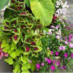 Container Gardens for light shade. Coleus, Elephant Ears, New Guinea Impatiens, Potato Vine.