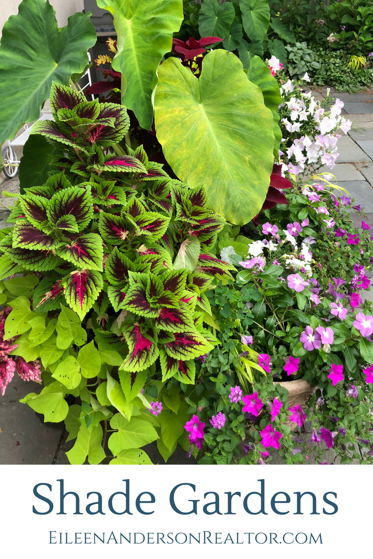 Container Gardens for light shade. Coleus, Elephant Ears, New Guinea Impatiens, Potato Vine.