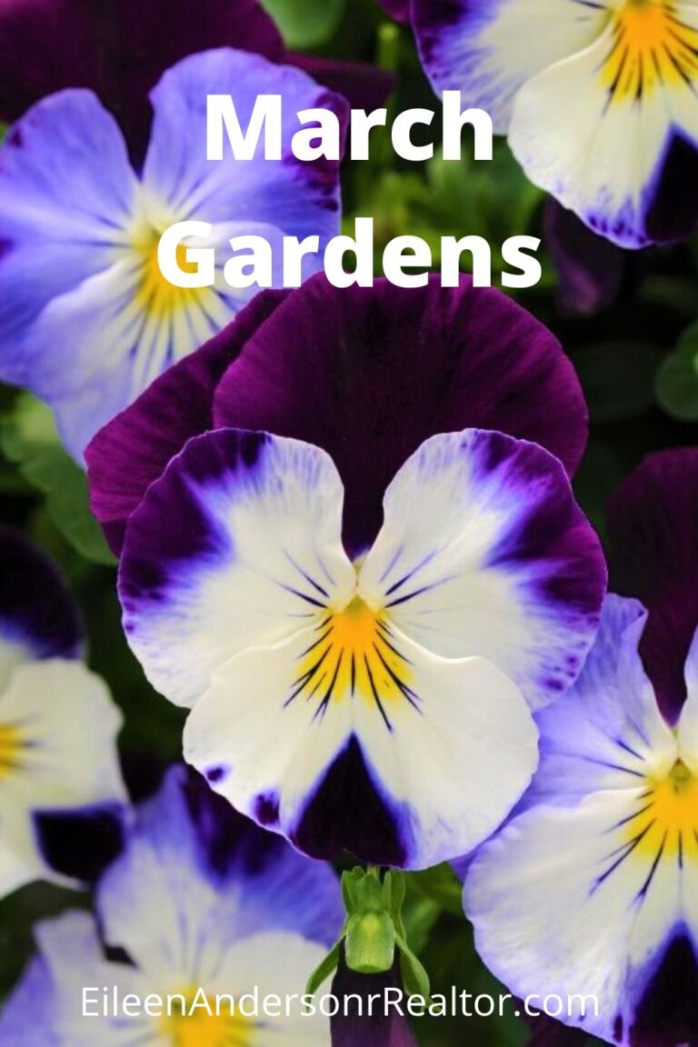 March gardening pansies