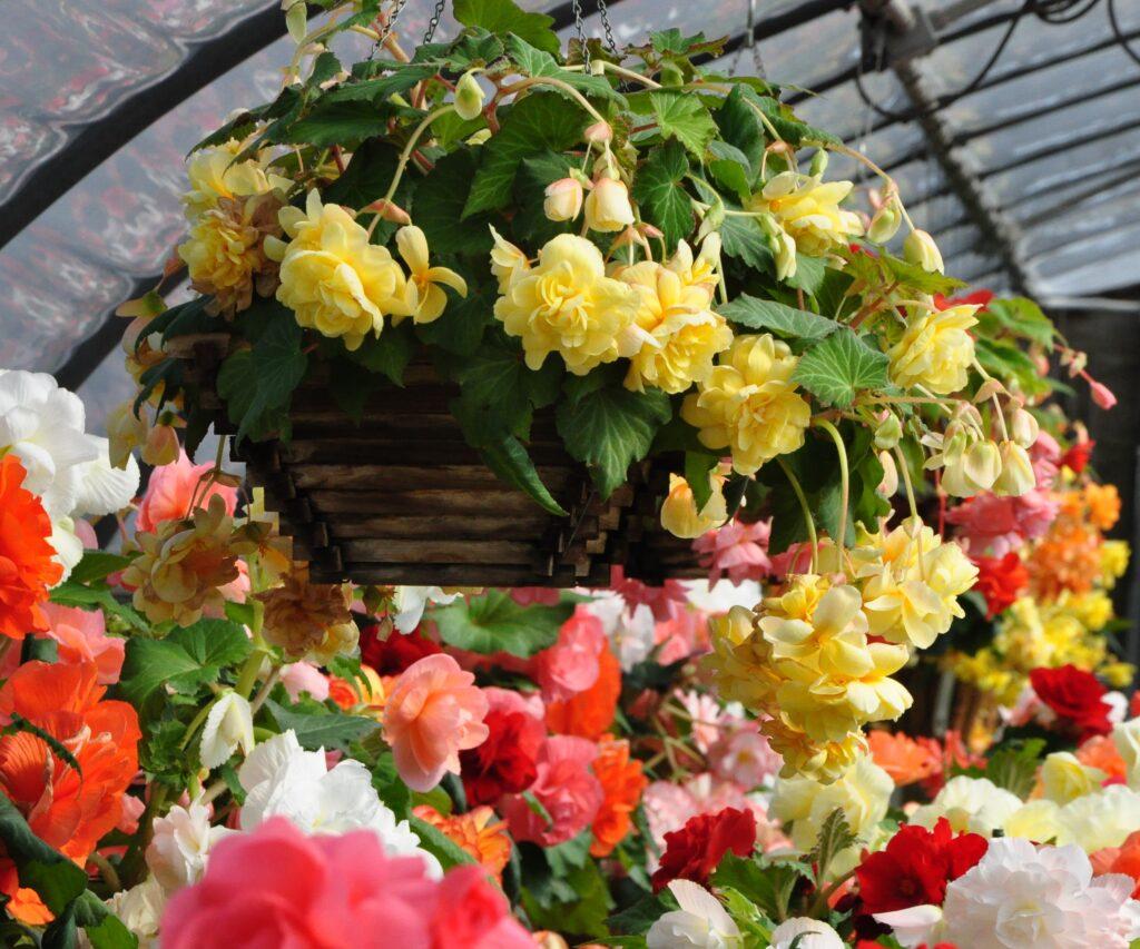 Hanging planters flowers begonias
